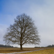 Stock Photo: Leafless tree