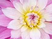 Pink yellow flower — Stock Photo
