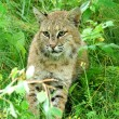 Bobcat lynk sitting in grass close-up - Stock Photo