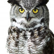 Close-up of a Great Horned Owl — Stock Photo #2017280