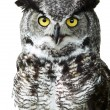 Close-up of a Great Horned Owl - Stock Photo