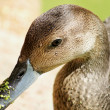 Close-up of duck with duckweeds — Stock Photo