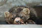 Clkose-up of sleepy Fisher Pekan — Stock Photo