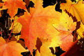 Close-up of bright maple leaves — Stock Photo