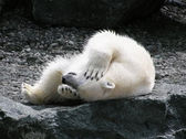 Polar bear having fun — Stock Photo