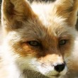 Close-up portrait of Red Fox — Stock Photo