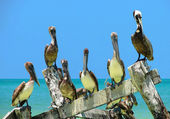 Brown Pelicans perched on old peer — Stock Photo