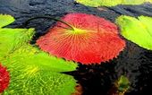 Giant waterlily red underside — Stock Photo