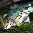 Blue Green Frog close-up — Stock Photo