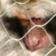 Close-up of a captive Japenese Macaque - Stock Photo