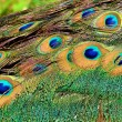 Peacock tail feathers close-up — Stock Photo