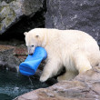 Stock Photo: Polar bear playing with toy