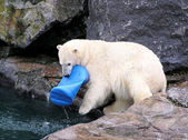 Polar bear playing with toy — Stock Photo