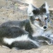 Close-up of Arctic fox resting — Foto Stock