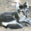 Close-up of Arctic fox resting - Stock Photo