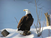 Bald eagle on snow — Stock Photo