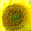 Sunflower with bee covered by pollen — Stock Photo