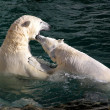 Polar bears playing and fighting — Стоковое фото
