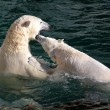Polar bears playing and fighting — Stock Photo