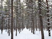 Pine-wood — Stock Photo