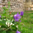 Foto Stock: Purple flower on fortress