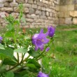 Foto de Stock  : Purple flower on fortress