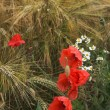 Royalty-Free Stock Photo: Poppies and diasies on the rye field