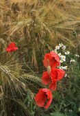 Poppies and diasies on the rye field — Stock Photo