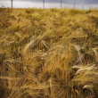 Stock Photo: Rye field under dramatic cloudy sky