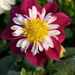 Dahlias — Stock Photo #2410594