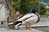 Mallard couple — Stock Photo