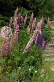Lupins — Stock Photo