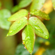 Green leaves after the rain — Stock Photo