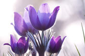 Violet flowers on the backlight — Stock Photo