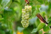 Green juicy grape bunch outdoor — Stock Photo