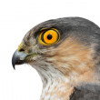 Постер, плакат: Birds of Europe Sparrow hawk