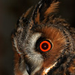 Long-eared owl — Stock Photo