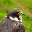 Stock Photo: Hobby Falcon