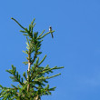 Stock Photo: Top of fir