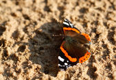 Butterfly - Red Admiral — Stock Photo