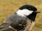 Birds of Europe and World - coal tit — Stock Photo