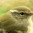 Stock Photo: Greenish warbler