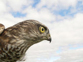 Hawk — Stock Photo