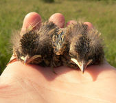 Nestlings — Stock Photo