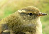 Greenish warbler — Stock Photo