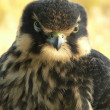 Hobby falcon — Stock Photo