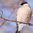 Birds of Europe - Bullfinch — Stock Photo