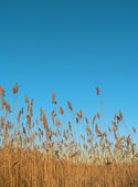 Reed-bed — Stock Photo