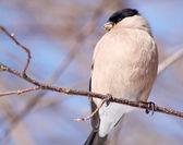 Birds of Europe - Bullfinch — Stock Photo