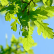 Fresh leaves — Stock Photo #2319608
